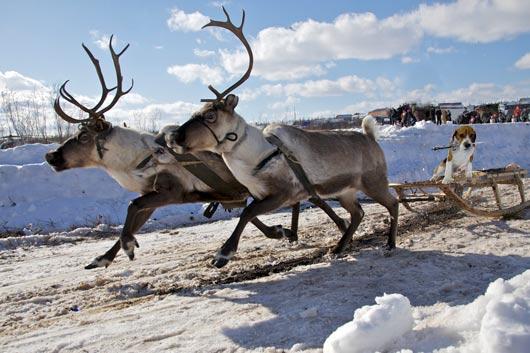 2013_29_Beagle_Reindeer